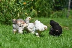 η εύθυμη κοτόπουλου χαρακτήρων Πάσχας κάρτα απεικόνισης οικογενειακών χαιρετισμών ευτυχής συμβολίζει Στοκ Εικόνες