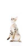 Η εύθυμη στάση γατακιών toyger παρουσιάζει χέρι που απομονώνεται Στοκ Εικόνες