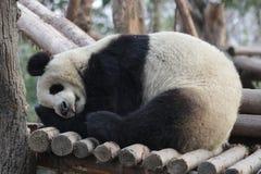 Η εύθυμη Panda αντέχει σε Chengdu, Κίνα Στοκ Φωτογραφίες