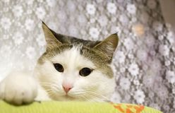 Η ελαφριά γάτα εξετάζει σας Στοκ Φωτογραφία