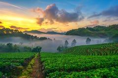 Η ελαφριά υδρονέφωση πρωινού το αγρόκτημα φραουλών είναι ANG Khang στην Ταϊλάνδη Στοκ Εικόνα