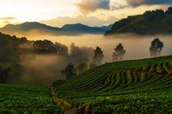 Η ελαφριά υδρονέφωση πρωινού το αγρόκτημα φραουλών είναι ANG Khang στην Ταϊλάνδη Στοκ φωτογραφίες με δικαίωμα ελεύθερης χρήσης