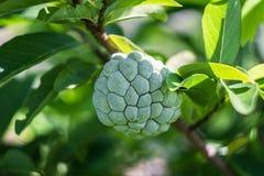 Η ζάχαρη-Apple κάλεσε επίσης Sweetsop ή η κρέμα Apple αυξάνεται στον κλάδο δέντρων στοκ φωτογραφία με δικαίωμα ελεύθερης χρήσης