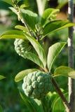 Η ζάχαρη-Apple κάλεσε επίσης Sweetsop ή η κρέμα Apple αυξάνεται στον κλάδο δέντρων Στοκ εικόνα με δικαίωμα ελεύθερης χρήσης