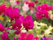Η ζωηρόχρωμη άνθιση λουλουδιών Bougainvillea Στοκ εικόνες με δικαίωμα ελεύθερης χρήσης