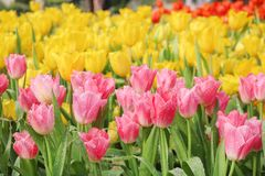 Η ζωηρόχρωμη διακοσμητική ρόδινη και κίτρινη τουλίπα λουλουδιών με το νερό ρίχνει τα φυσικά σχέδια ομάδας που ανθίζουν στον κήπο  στοκ εικόνα