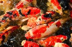 Η ζωηρόχρωμη εικόνα κινηματογραφήσεων σε πρώτο πλάνο του ψαριού Koi ή κυπρίνων που είναι ένα ιαπωνικό ψάρι σε μια λίμνη στοκ εικόνες με δικαίωμα ελεύθερης χρήσης