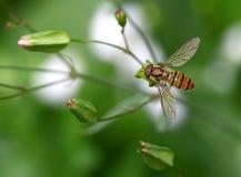 η ζωηρόχρωμη μύγα αιωρείται Στοκ Εικόνες