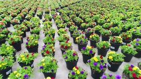 Η ζωηρόχρωμη πετούνια αυξάνεται σε ένα θερμοκήπιο, ζωηρόχρωμα λουλούδια σε ένα θερμοκήπιο, λουλούδια για την πώληση, που αυξάνετα φιλμ μικρού μήκους