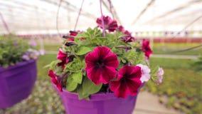 Η ζωηρόχρωμη πετούνια αυξάνεται σε ένα θερμοκήπιο, ζωηρόχρωμα λουλούδια σε ένα θερμοκήπιο, λουλούδια για την πώληση, που αυξάνετα απόθεμα βίντεο