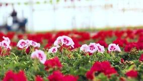 Η ζωηρόχρωμη πετούνια αυξάνεται σε ένα θερμοκήπιο, ζωηρόχρωμα λουλούδια σε ένα θερμοκήπιο, πετούνια μεταξύ των γερανιών, που αυξά φιλμ μικρού μήκους