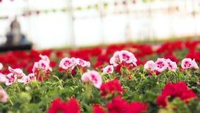 Η ζωηρόχρωμη πετούνια αυξάνεται σε ένα θερμοκήπιο, ζωηρόχρωμα λουλούδια σε ένα θερμοκήπιο, πετούνια μεταξύ των γερανιών, που αυξά απόθεμα βίντεο