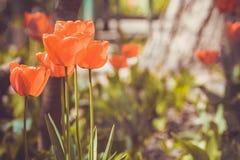 η ζωηρόχρωμη δροσιά dof ρίχνει τις φρέσκες ρηχές τουλίπες άνοιξη λουλουδιών Στοκ εικόνα με δικαίωμα ελεύθερης χρήσης