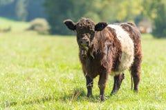 Η ζωσμένη Galloway αγελάδα στέκεται σε ένα juicy λιβάδι στη Βαυαρία Γερμανία στοκ φωτογραφίες