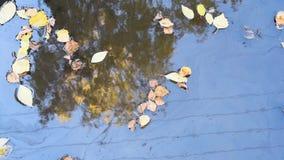 Η ηλιόλουστη ημέρα φθινοπώρου στην πισίνα των φύλλων σημύδων απεικόνισε το κίτρινο δέντρο καλωδίων απόθεμα βίντεο