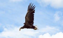 η θάλασσα πτήσης αετών παρακολούθησε το λευκό Στοκ Φωτογραφίες