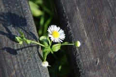 Η θαρραλέα Daisy στοκ φωτογραφία με δικαίωμα ελεύθερης χρήσης