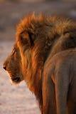 Η θαυμάσια υπερηφάνεια του μπαμπά λιονταριών κλείνει επάνω οπισθοσκόπο Στοκ Εικόνες