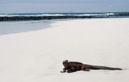 Η θαλάσσια συνεδρίαση iguana στην άσπρη άμμο galapagos νησιά ωκεάνιος ειρηνικός Ισημερινός στοκ εικόνα