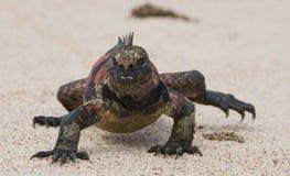 Η θαλάσσια συνεδρίαση iguana στην άσπρη άμμο galapagos νησιά ωκεάνιος ειρηνικός Ισημερινός στοκ φωτογραφία με δικαίωμα ελεύθερης χρήσης