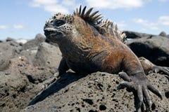 Η θαλάσσια συνεδρίαση iguana στους βράχους galapagos νησιά ωκεάνιος ειρηνικός Ισημερινός στοκ εικόνα με δικαίωμα ελεύθερης χρήσης
