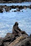 Η θαλάσσια συνεδρίαση iguana στους βράχους galapagos νησιά ωκεάνιος ειρηνικός Ισημερινός στοκ φωτογραφίες με δικαίωμα ελεύθερης χρήσης