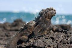 Η θαλάσσια συνεδρίαση iguana στους βράχους galapagos νησιά ωκεάνιος ειρηνικός Ισημερινός στοκ φωτογραφίες