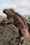 Η θαλάσσια συνεδρίαση iguana στους βράχους galapagos νησιά ωκεάνιος ειρηνικός Ισημερινός στοκ εικόνα