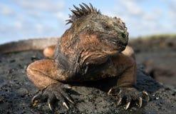 Η θαλάσσια συνεδρίαση iguana στους βράχους galapagos νησιά ωκεάνιος ειρηνικός Ισημερινός στοκ εικόνες