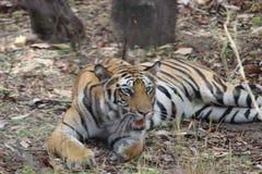 Η θηλυκή τίγρη στηρίζεται στους θάμνους μετά από το γεύμα στοκ εικόνες