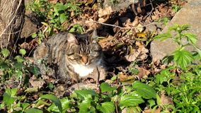 Η θηλυκή τιγρέ γάτα κάθεται στα ξηρά φύλλα και basks στον ήλιο απόθεμα βίντεο