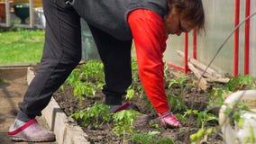 Η θηλυκή Farmer που φυτεύει τα σπορόφυτα σε ένα θερμοκήπιο φιλμ μικρού μήκους