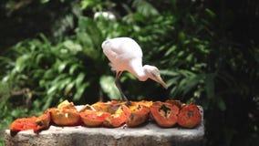 Η θρεσκιόρνιθα Bubulcus τσικνιάδων βοοειδών Το άσπρο πουλί επιλέγει τι να φάει από τον πίνακα τροφίμων Μαλαισία απόθεμα βίντεο