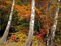 Ηλιακό τοπίο φθινοπώρου με τρεις σημύδες Στοκ Εικόνες