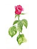 Η διανυσματική απεικόνιση όμορφου ενός κόκκινου αυξήθηκε λουλούδι Στοκ φωτογραφίες με δικαίωμα ελεύθερης χρήσης