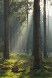 Ηλιαχτίδες στο κομψό δάσος Στοκ εικόνες με δικαίωμα ελεύθερης χρήσης