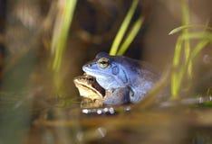 Η διαδικασία της αναπαραγωγής δένει το βάτραχο, arvalis Rana Στοκ Εικόνες