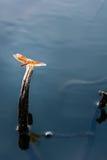 Η λιβελλούλη Στοκ Φωτογραφία