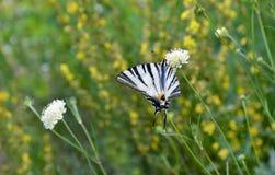 Η λιγοστή πεταλούδα swallowtail Στοκ εικόνα με δικαίωμα ελεύθερης χρήσης