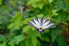 Η λιγοστή πεταλούδα swallowtail Στοκ εικόνες με δικαίωμα ελεύθερης χρήσης