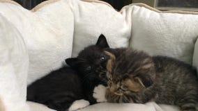 Ηλικίας αδελφός και αδελφή γατών ενός μήνα φιλμ μικρού μήκους