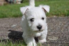 5 ηλικίας κουτάβι Westie εβδομάδας Στοκ Εικόνα