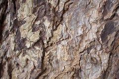 Ηλικίας δρύινη φωτογραφία σύστασης κινηματογραφήσεων σε πρώτο πλάνο φλοιών δέντρων Αγροτική κινηματογράφηση σε πρώτο πλάνο κορμών Στοκ Εικόνες