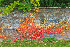 Ηλικίας τοίχος πετρών με τα φύλλα κισσών που συνδέονται το φθινόπωρο Στοκ Εικόνες