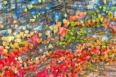 Ηλικίας τοίχος πετρών με τα φύλλα κισσών που συνδέονται το φθινόπωρο Στοκ Φωτογραφίες
