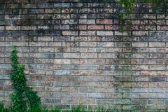 Ηλικίας τούβλο τον κισσό που αφήνεται με Στοκ Φωτογραφία