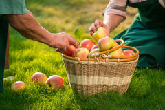 Ηλικιωμένα χέρια και καλάθι μήλων Στοκ Φωτογραφίες