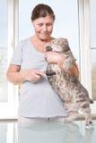Ηλικιωμένη γυναίκα που κτενίζει τις σκωτσέζικες πτυχές φυλής γατών Στοκ Εικόνα