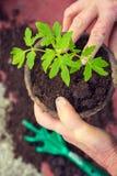 Ηλικιωμένη γυναίκα που φυτεύει το φρέσκο σπορόφυτο ντοματών, λεπτομέρεια χεριών, homegrown λαχανικά στοκ φωτογραφία με δικαίωμα ελεύθερης χρήσης