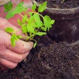 Ηλικιωμένη γυναίκα που φυτεύει το φρέσκο σπορόφυτο ντοματών, λεπτομέρεια χεριών, homegrown λαχανικά στοκ φωτογραφία